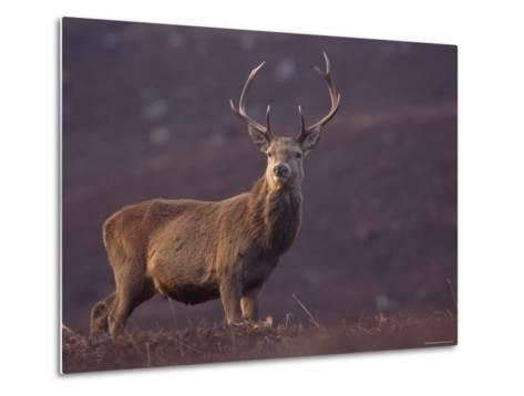 Red Deer Stag on Hillside, Inverness-Shire, Scotland-Niall Benvie-Metal Print