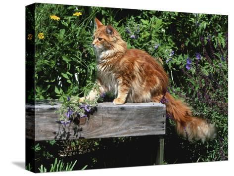 Domestic Cat, Maine Coon Breed, Maine, USA-Lynn M^ Stone-Stretched Canvas Print