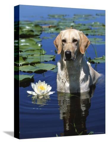 Labrador Retriever Dog in Lake, Illinois, USA-Lynn M^ Stone-Stretched Canvas Print
