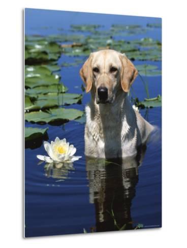 Labrador Retriever Dog in Lake, Illinois, USA-Lynn M^ Stone-Metal Print