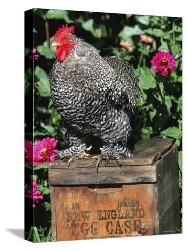 Domestic Chicken, Barred Rock Cohin Bantam Rooster, Iowa, USA-Lynn M^ Stone-Stretched Canvas Print