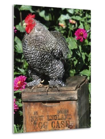 Domestic Chicken, Barred Rock Cohin Bantam Rooster, Iowa, USA-Lynn M^ Stone-Metal Print