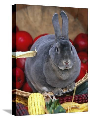 Domestic Rabbit, Mini Rex Breed-Lynn M^ Stone-Stretched Canvas Print