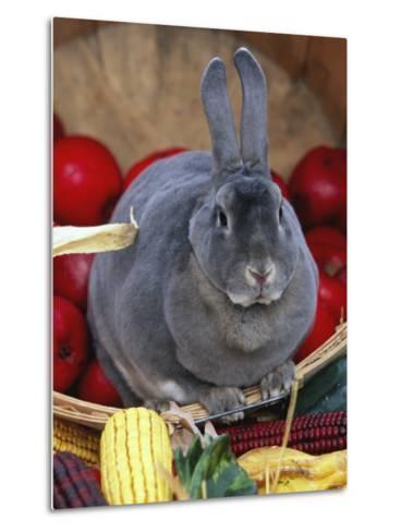 Domestic Rabbit, Mini Rex Breed-Lynn M^ Stone-Metal Print