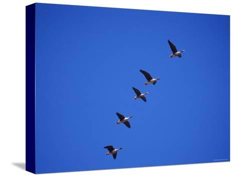 Five White Fronted Geese in Formation Flight, Estonia-Niall Benvie-Stretched Canvas Print