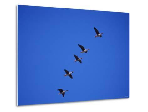 Five White Fronted Geese in Formation Flight, Estonia-Niall Benvie-Metal Print