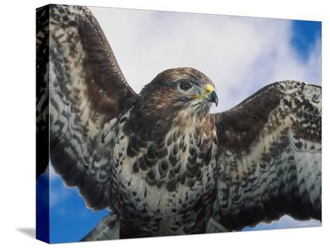 Female Common Buzzard with Wings Outstretched, Scotland-Niall Benvie-Stretched Canvas Print