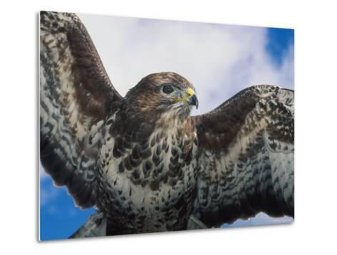 Female Common Buzzard with Wings Outstretched, Scotland-Niall Benvie-Metal Print