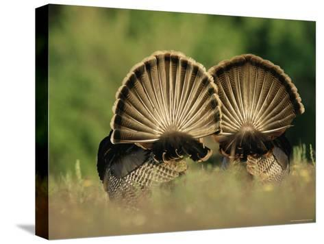 Rear View of Male Wild Turkey Tail Feathers During Display, Texas, USA-Rolf Nussbaumer-Stretched Canvas Print