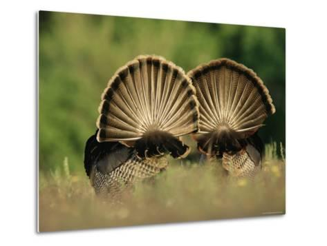 Rear View of Male Wild Turkey Tail Feathers During Display, Texas, USA-Rolf Nussbaumer-Metal Print