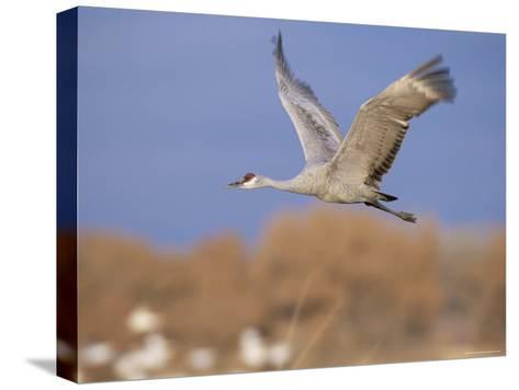 Sandhill Crane in Flight, Bosque Del Apache National Park, NM, USA-Rolf Nussbaumer-Stretched Canvas Print
