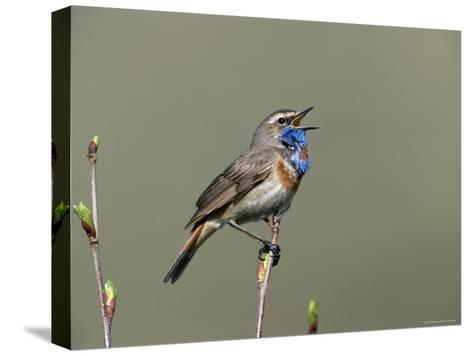 Bluethroat, Male Singing, Switzerland-Rolf Nussbaumer-Stretched Canvas Print