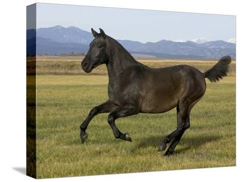 Dark Grey Young Andalusian Stallion Cantering, Colorado, USA-Carol Walker-Stretched Canvas Print