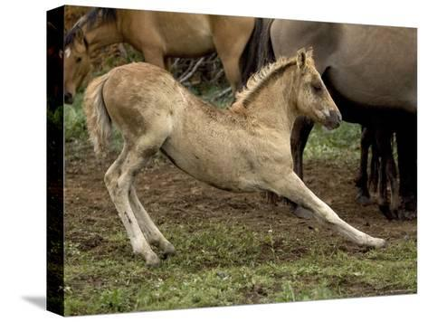 Mustang / Wild Horse Filly Stretching, Montana, USA Pryor Mountains Hma-Carol Walker-Stretched Canvas Print