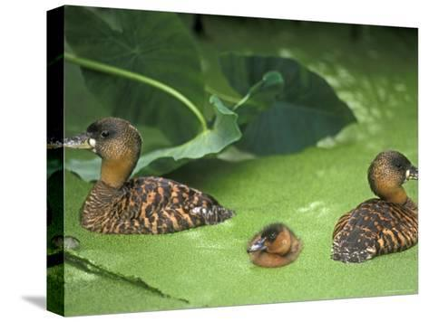 White Backed Ducks with Chick, Belgium, Native to Africa-Philippe Clement-Stretched Canvas Print