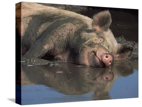 Domestic Pig Wallowing in Mud, USA-Lynn M^ Stone-Stretched Canvas Print