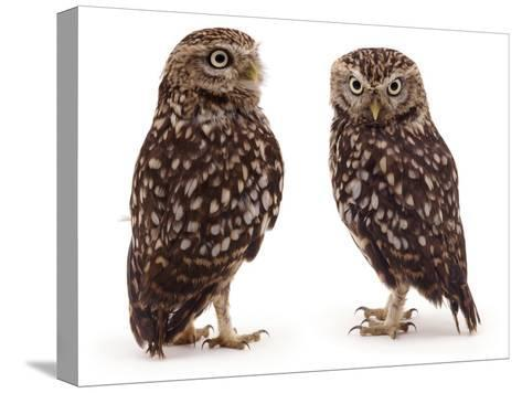 Pair of Little Owls-Jane Burton-Stretched Canvas Print