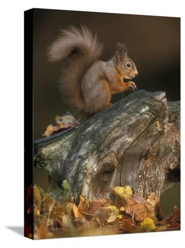 Red Squirrel, Autumn, Cairngorms National Park, Scotland-Pete Cairns-Stretched Canvas Print