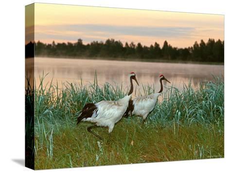 Japanese / Red-Crowned Crane Pair, Khingansky Zapovednik, Russia-Igor Shpilenok-Stretched Canvas Print