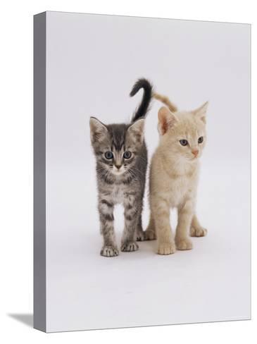 Domestic Cat (Felis Catus) 8-Week-Old Kittens-Jane Burton-Stretched Canvas Print