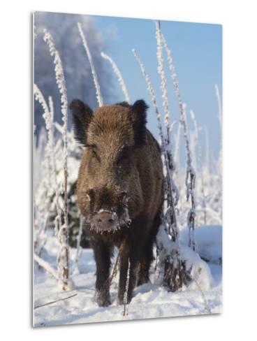 Wild Boar in Winter (Sus Scrofa), Europe-Reinhard-Metal Print
