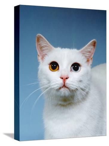 Domestic Cat, Odd-Eyed-Reinhard-Stretched Canvas Print