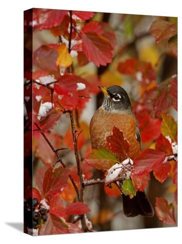 American Robin, Male in Black Hawthorn, Grand Teton National Park, Wyoming, USA-Rolf Nussbaumer-Stretched Canvas Print
