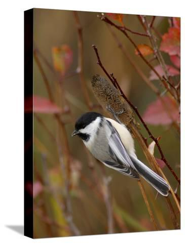 Black Capped Chickadee, Eating Flower Seeds, Grand Teton National Park, Wyoming, USA-Rolf Nussbaumer-Stretched Canvas Print