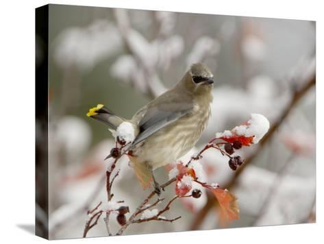 Cedar Waxwing, Young on Hawthorn with Snow, Grand Teton National Park, Wyoming, USA-Rolf Nussbaumer-Stretched Canvas Print