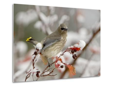 Cedar Waxwing, Young on Hawthorn with Snow, Grand Teton National Park, Wyoming, USA-Rolf Nussbaumer-Metal Print