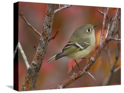 Ruby Crowned Kinglet, Adult in Black Hawthorn, Grand Teton National Park, Wyoming, USA-Rolf Nussbaumer-Stretched Canvas Print