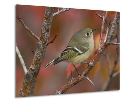 Ruby Crowned Kinglet, Adult in Black Hawthorn, Grand Teton National Park, Wyoming, USA-Rolf Nussbaumer-Metal Print