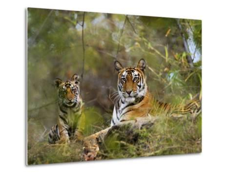 Female Tiger, with Four-Month-Old Cub, Bandhavgarh National Park, India-Tony Heald-Metal Print