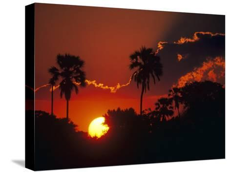 Palm Trees Silhouetted at Sunset, Okavango Delta, Botswana-Pete Oxford-Stretched Canvas Print