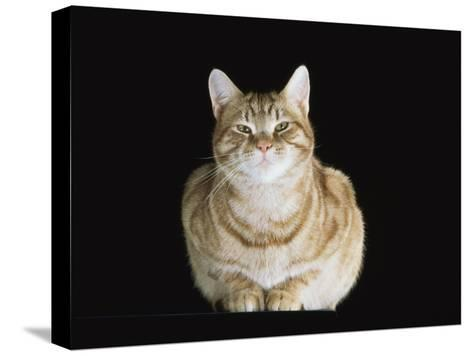 Male Ginger Domestic Cat Looking Smug, UK-Jane Burton-Stretched Canvas Print