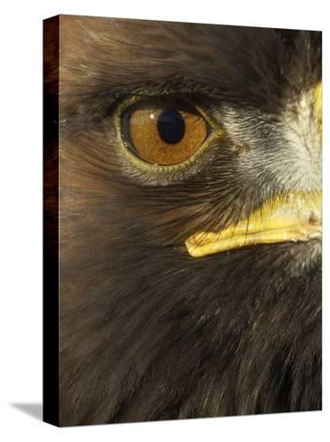 Golden Eagle (Aquila Chrysaetos) Close up of Eye, Cairngorms National Park, Scotland, UK-Pete Cairns-Stretched Canvas Print