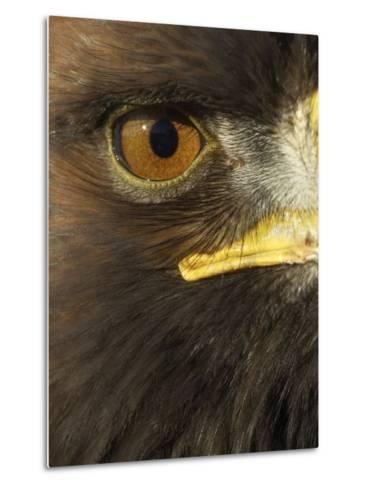 Golden Eagle (Aquila Chrysaetos) Close up of Eye, Cairngorms National Park, Scotland, UK-Pete Cairns-Metal Print