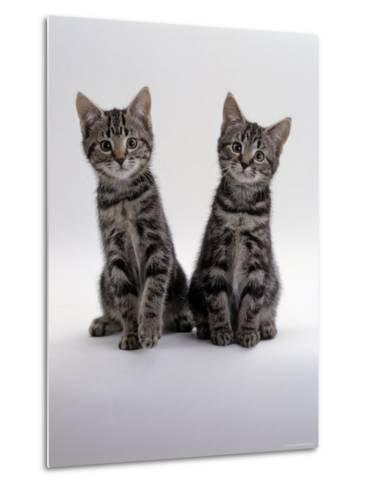 Domestic Cat, Two 8-Week Tabby Kittens, Male and Female-Jane Burton-Metal Print