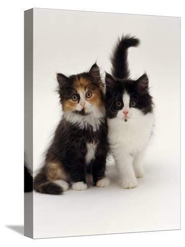 Domestic Cat, Tortoiseshell and Black-And-White Kittens-Jane Burton-Stretched Canvas Print