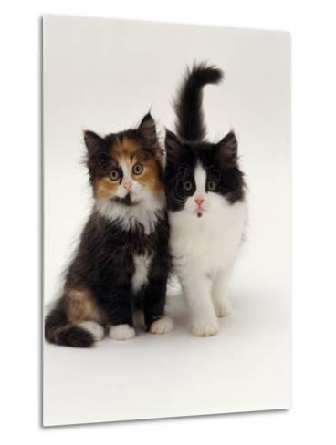 Domestic Cat, Tortoiseshell and Black-And-White Kittens-Jane Burton-Metal Print
