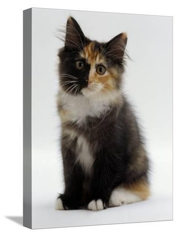 Domestic Cat, 9-Week Non-Pedigree Longhair Tortoiseshell-And-White Kitten-Jane Burton-Stretched Canvas Print