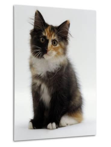 Domestic Cat, 9-Week Non-Pedigree Longhair Tortoiseshell-And-White Kitten-Jane Burton-Metal Print