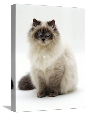 Domestic Cat, Blue Colour-Point Birman-Cross-Jane Burton-Stretched Canvas Print