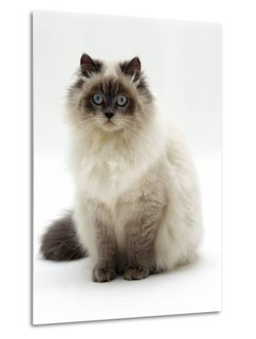 Domestic Cat, Blue Colour-Point Birman-Cross-Jane Burton-Metal Print