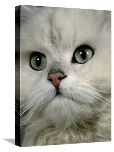 Domestic Cat, Chinchilla Persian Close up of Face-Jane Burton-Stretched Canvas Print