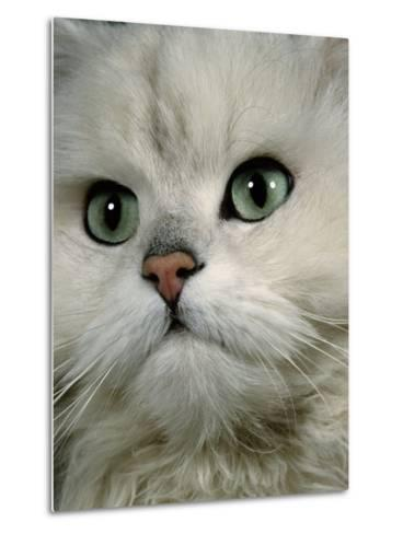 Domestic Cat, Chinchilla Persian Close up of Face-Jane Burton-Metal Print