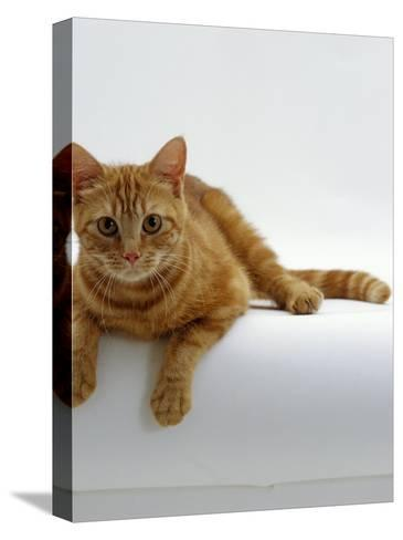 Domestic Cat, British Shorthair Red Tabby Female-Jane Burton-Stretched Canvas Print