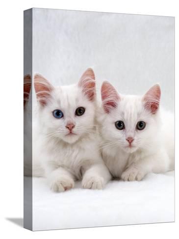 Domestic Cat, White Semi-Longhair Turkish Angora Kittens, One with Odd Eyes-Jane Burton-Stretched Canvas Print