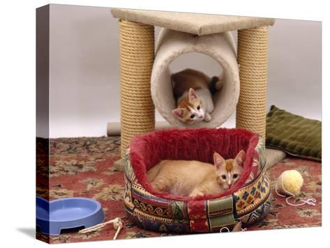 Domestic Cat, 12-Week Kittens Settled into New Home, with Bed and Leisure / Play Centre and Toys-Jane Burton-Stretched Canvas Print