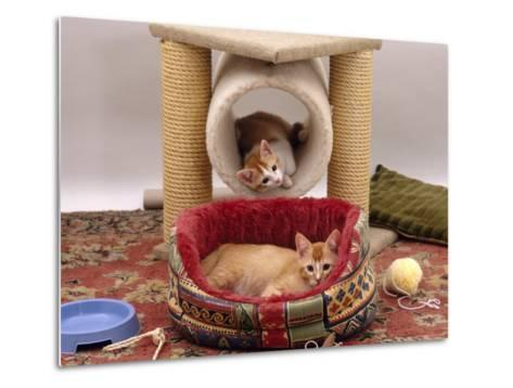 Domestic Cat, 12-Week Kittens Settled into New Home, with Bed and Leisure / Play Centre and Toys-Jane Burton-Metal Print